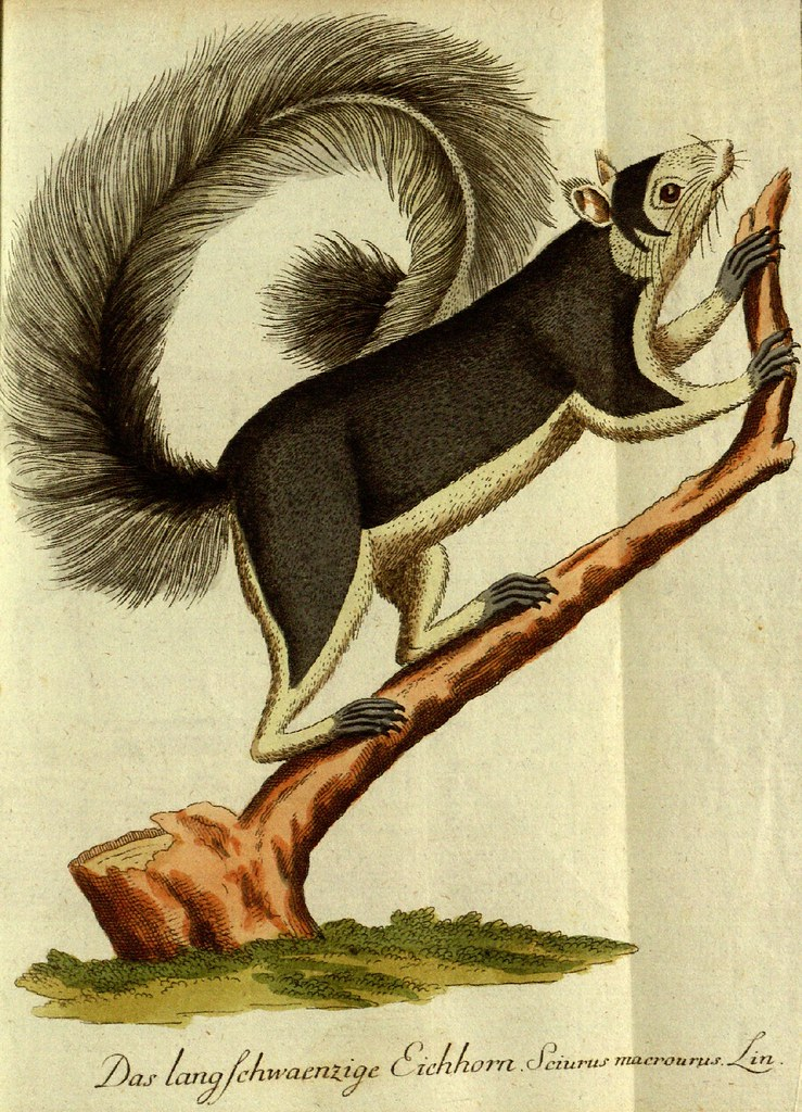 Squirrel engraving (hand-coloured) by Johann Bechstein