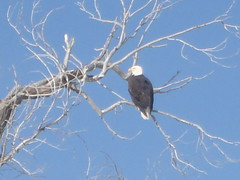 Eagle on Gros Ventre Rd