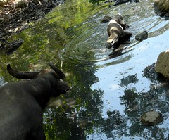 Buffalo vs Komodo