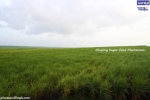 chuping sugar cane plantation2