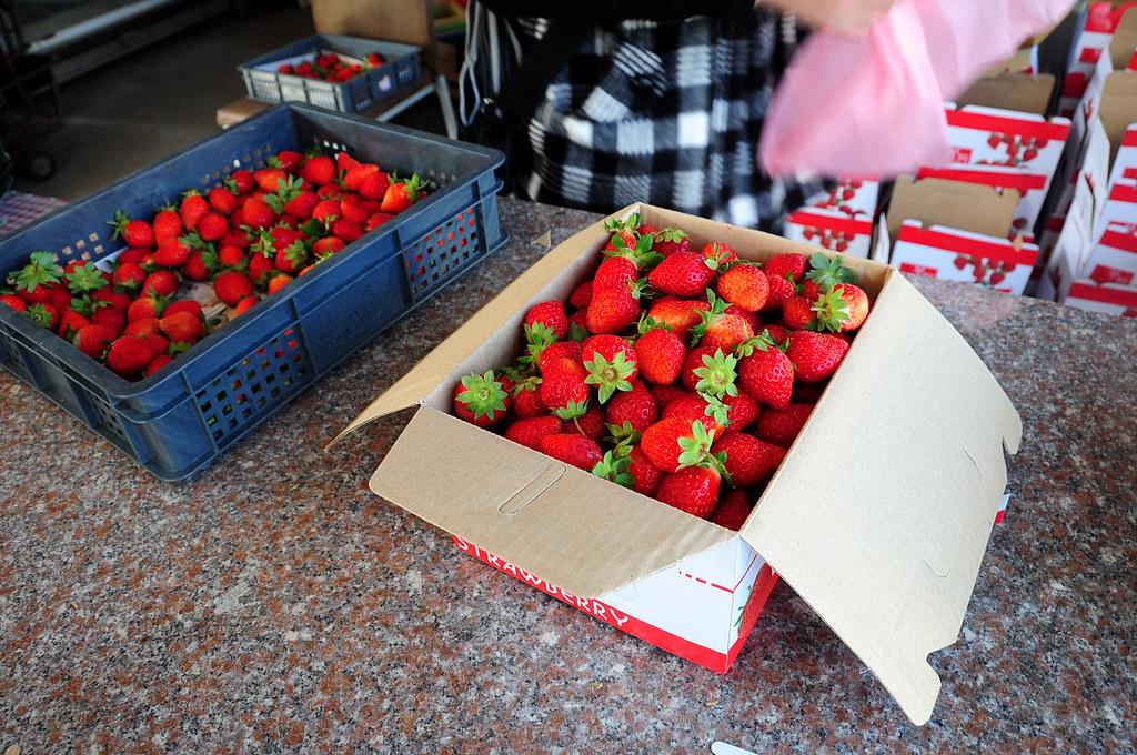 苗栗大湖採草莓