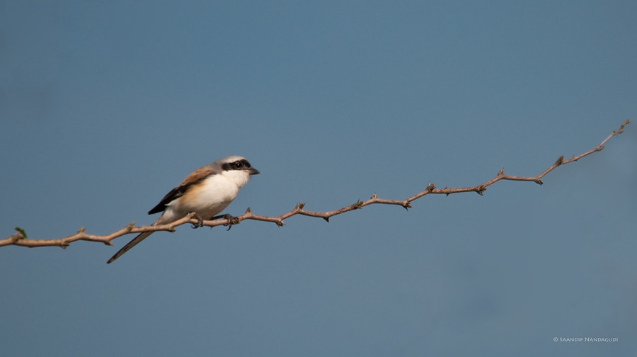 Longtailed-Shrike