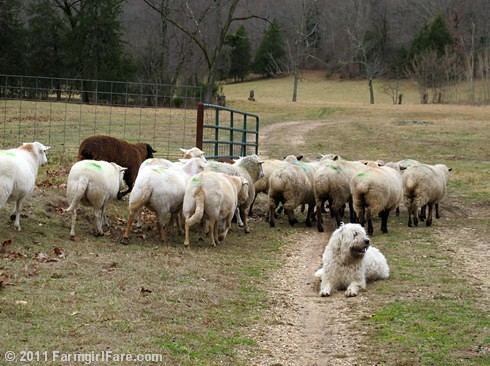 Flock of prego sheep veering around Marta Beast - FarmgirlFare.com