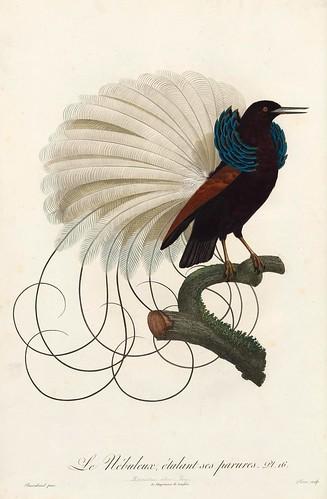 004-El nebuloso ejecutando su danza-Histoire naturelle des Oiseaux de paradis et des Rolliers.. 1806-François Levaillant