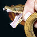 Amazon Tree Boa (Corallus hortulanus) by cowyeow