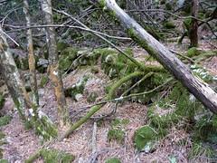 Fin de remontée du Velacu : restes de murets et de sentier ?