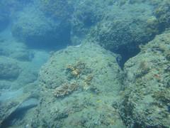 杉原珊瑚雖不少,卻面臨沉積物威脅