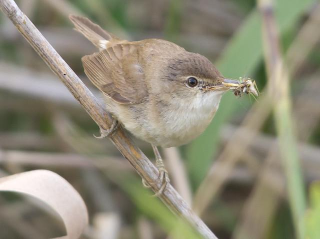 reed warbler in reeds best