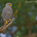 Grey Kestrel (Falco ardosiaceus ) by Mike Barth - Bird Guide UAE