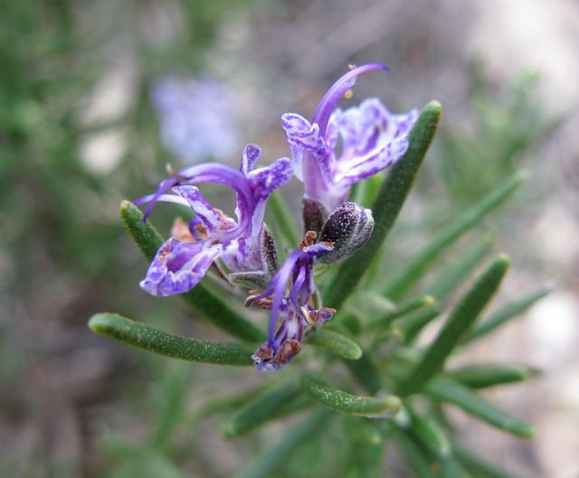 Rosmarinus officinalis- purple
