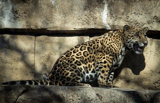 Baby Jaguar Flickr Photo Sharing
