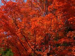 日, 2010-10-17 10:27 - Bear Mountainのスケートリンク裏の見事な紅葉