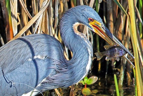 fish nature florida waterbird naples catch sw prey fowl survival avian herons tricoloredheron egrettatricolor freedompark wader
