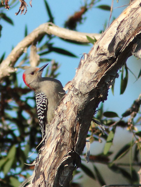 Red-bellied Woodpecker female 20120108