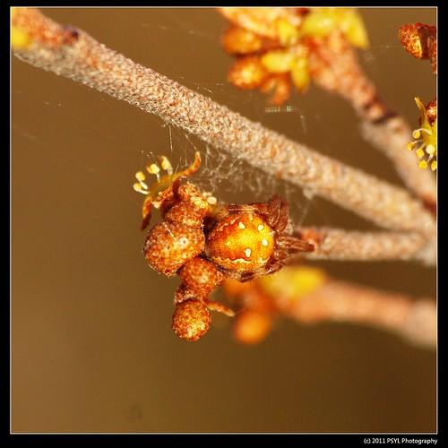 Araneus yukon