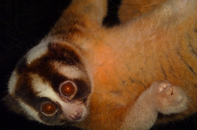 slow loris cute budget - a gallery on Flickr