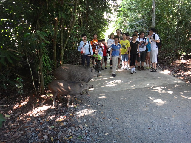 Wild boar crossing! Getting close to nature at the Chek Jawa Boardwalk