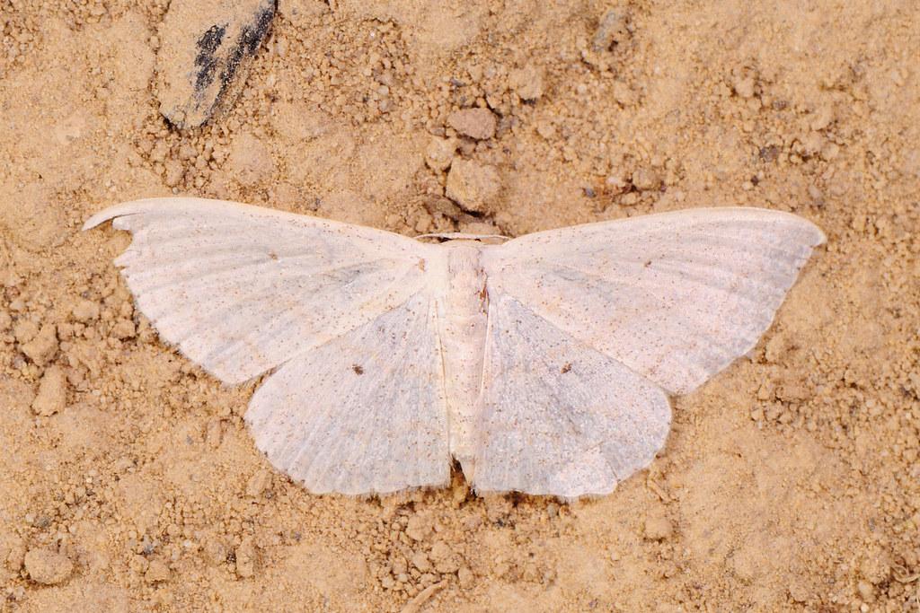 微點姬尺蛾 Scopula nesciaria