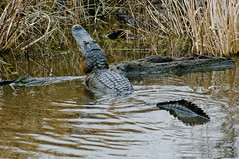 Alligator Displaying early