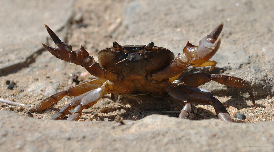 Fresh-Water-Crab