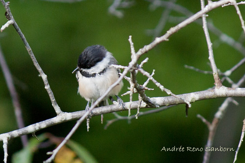 Black-capped Chickadee-6.jpg