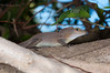 "<a href=""http://www.flickr.com/photos/theactionitems/6776595843/"">Photo of Anolis cristatellus by Marc AuMarc</a>"