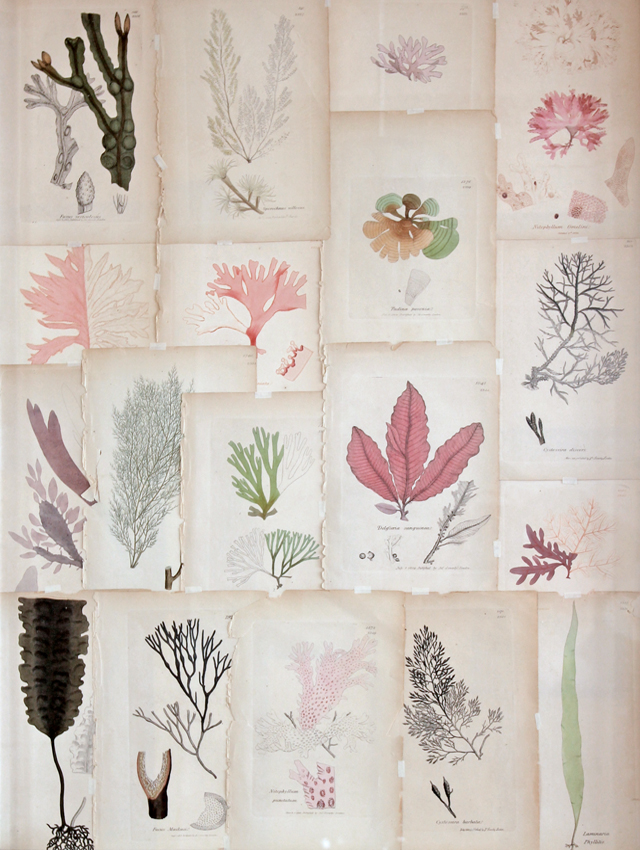 Seaweed prints from the 1800s