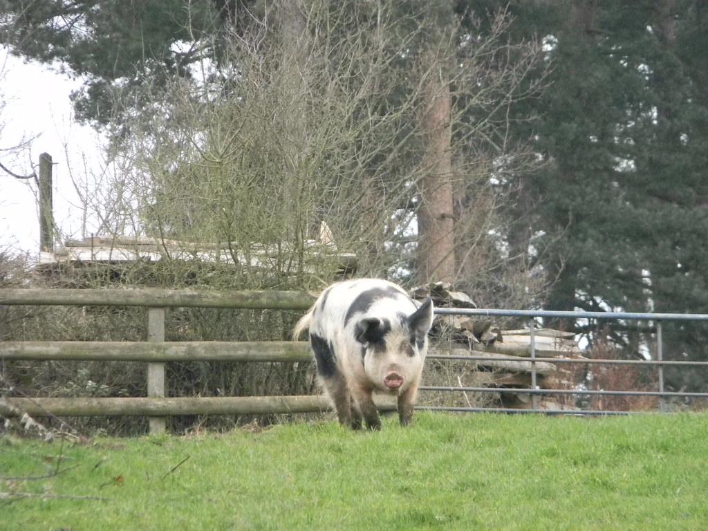 Friendly pig Aldermaston to Woolhampton