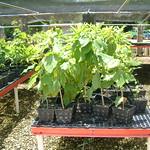 Cordia subcordata seedlings