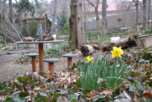 Daffodils in the Discovery Garden
