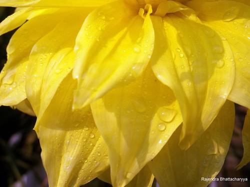 Petals with rain drops