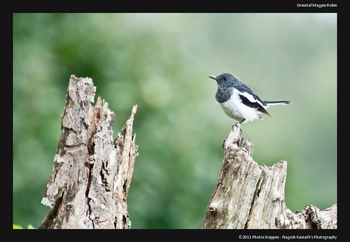 Oriental Magpie Robin by Nagesh Kamath