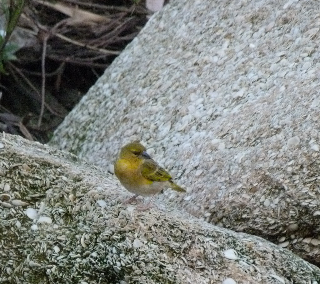 26-01-2012-yellow-warble
