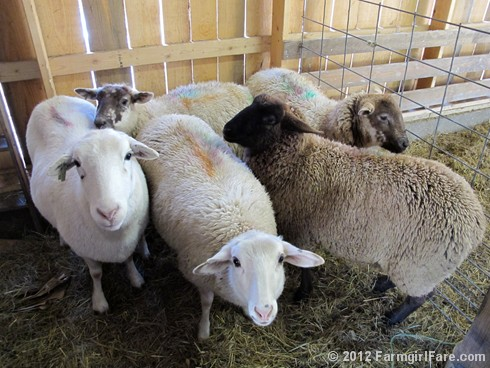 2012 Sheep shearing day 38 - FarmgirlFare.com