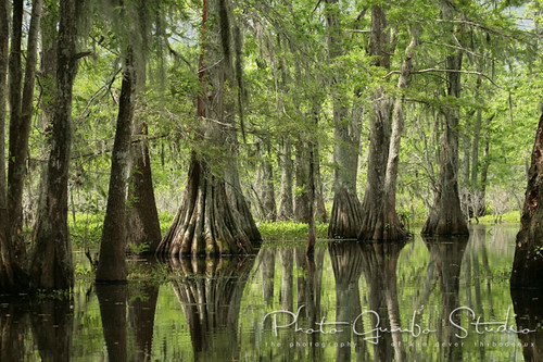 Photo Gumbo Studio cypress trees swamp Calm Before the Storm