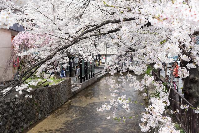 高瀬川 桜