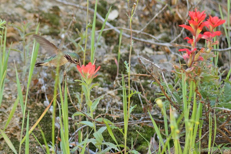 Calliope-Hummingbird-040814-4