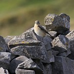 Mr Wheatear