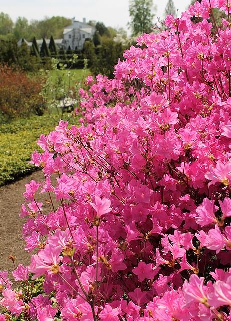 Ladew Gardens ~ Azalea Heaven - HCS!