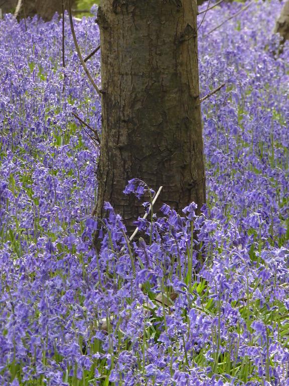 Bluebells near HIgh Hurstwood Buxted Circular walk