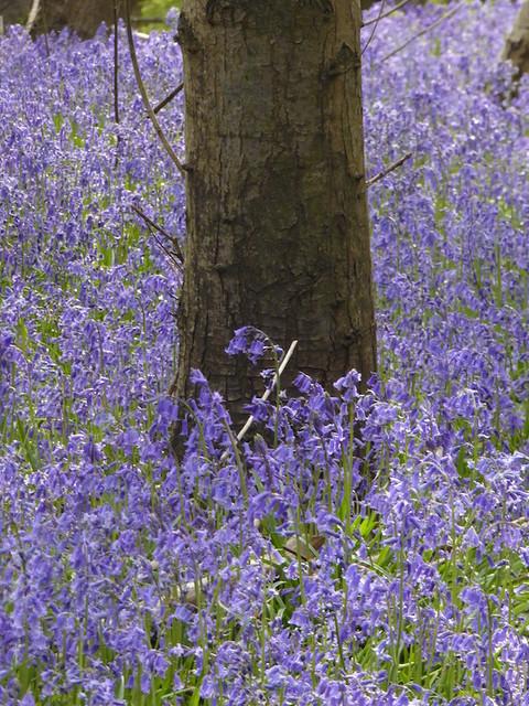 Bluebells near HIgh Hurstwood