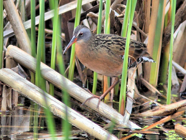 Virginia Rail HDR 03-20160503