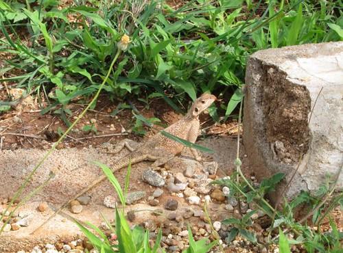 Tanzanian Lizard Africa by Danalynn C