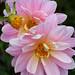 Dahlia 'Lotus' by anniesannuals