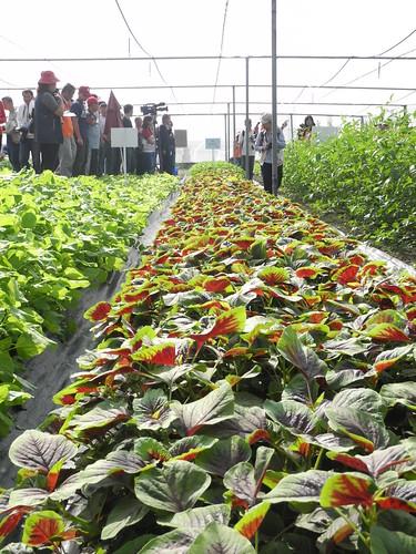 農試所推原生蔬菜抗氣候變遷,並舉辦田間觀摩活動,將原生蔬菜引介給國人。