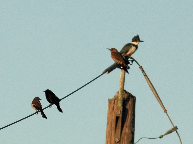 Mockingbird blackbird flicker and kingfisher on wire 20111130