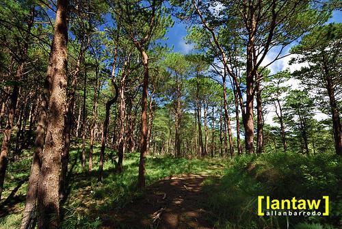 Salacsac Pine Forest 2