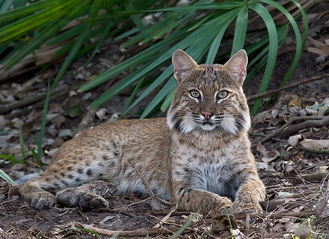 Wild Bobcat mother of 4. Taking a few moments of 'me time ...