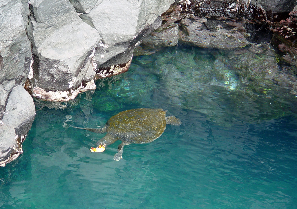 DSC00860 Green Turtle and Sally Lightfoot Crab cropped
