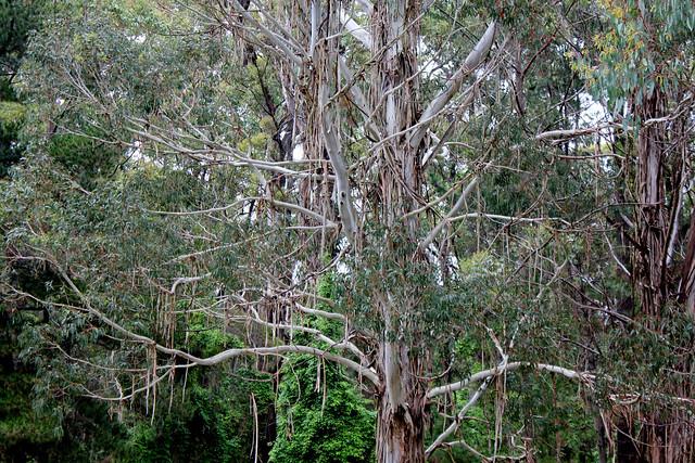 Drooping Eucalyptus